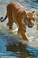 Tiger in Water by amrodel