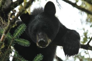 Black Bear by wolfnipplechips