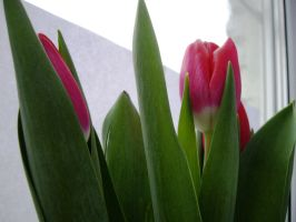 Tulips -03 by blue-crystall