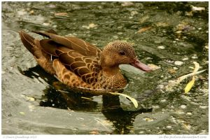 Gorgeous Duck by In-the-picture