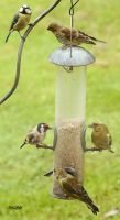 Finches and a Tit by Mararda