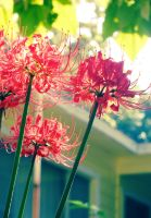 9-26 Spider Lily 02 by harimauputeh