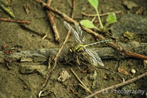new born dragonfly by Lk-Photography