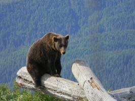 Brown Bear 1 by prints-of-stock