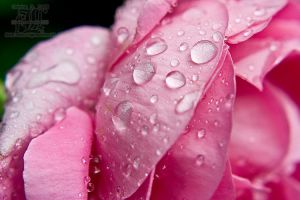 Dewdrops on roses by aheria
