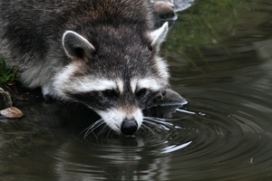 Thirsty Coon by ShadowstalkerW