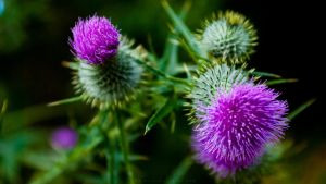 Thistle II 2560x1440 by lostmessenger