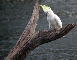 Sulphur Crested Cockatoo 20 by aussiegal7