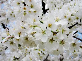Cherry Blossoms 3 by zaphotonista