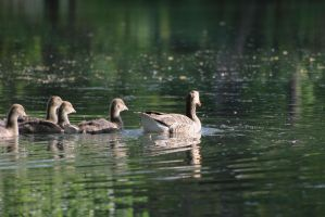 Swimming Goose Family by Rea-the-squirrel