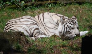 Sleeping white tiger by NicamShilova