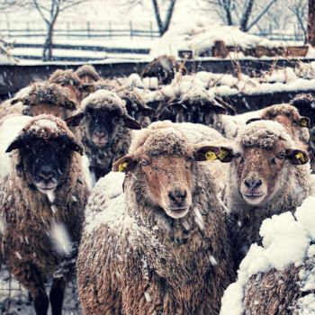 snoWy lamBs by gottheedesign