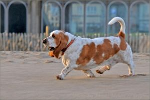 Basset by brijome