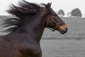 Bay Andalusian Gelding by LuDa-Stock