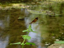 Brown Dragonfly by MedeaMelana