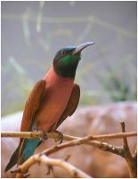 Northern Carmine Bee-eater by TalkStock