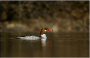 Common Merganser by Ryser915