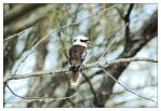 Kookaburra 1 by wildplaces