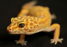 Carrot the Leopard Gecko by Murphy1210