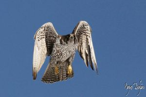 Gyrfalcon Taking Off by Robin-Hugh
