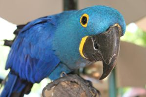 Hyacinth Macaw by TaraRW