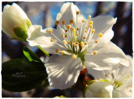 Blossoming by moonik9