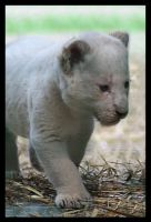 White lion cub. by Alannah-Hawker