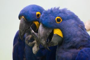 Hyacinth Macaws by chickensmoothie