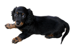 Long haired dachshund puppy PNG by makiskan