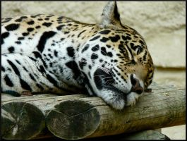 Jaguar sleep by Alice-view