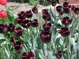 Black Tulips by mmad-sscientist