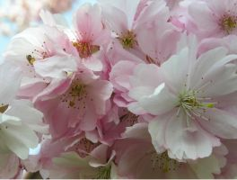 Japanese cherry 1 by GreenMusic