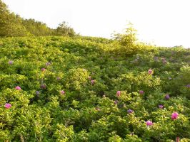 Wild Roses by Comacold-stock