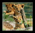 Baby lions 3 by grugster