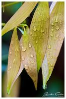 leaf fingers and water drops by jaydoncabe