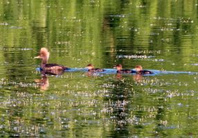 Merganser Family by sequential