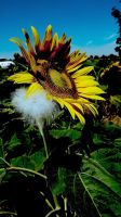 sunflower I by mytruelies