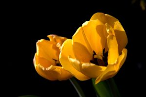 The day of the tulip 6 by akseiya