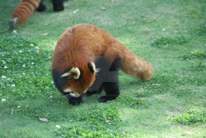 red panda by Ricven-Hawklight