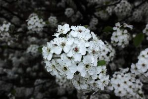 Callery Pear Tree by OneLifeOneTime