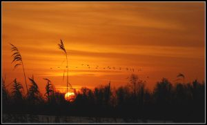 Distant sunrise geese by jchanders