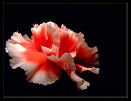 Dianthus by MeisterP