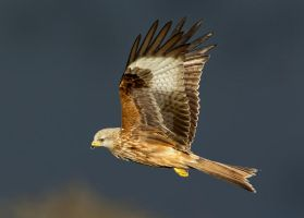 Dark skies with a bright outlook  - Red kite juv by Jamie-MacArthur