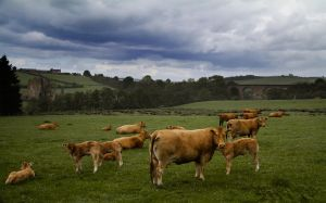 Abberwick Herd by stevezpj