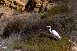 Great Egret by doninator