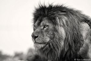 serious lion by Yair-Leibovich
