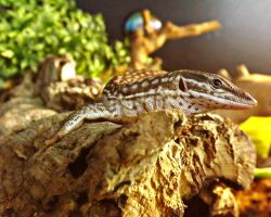 Ackie Monitor Lizard by markeverard