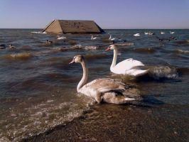 Swans and drakes III by Dorian-Gray7