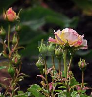 First Rose by MDGallery