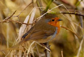 Hello Mr Redbreast... by quaddie